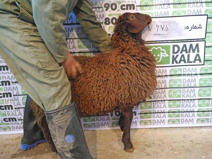 گوسفند زنده و خرید اینترنتی !